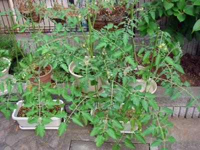 tomato07.jpg
